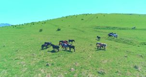Flight over wild horses herd on mountain meadow. Summer mountains wild nature. Freedom ecology concept. Aerial UHD 4K flight over wild staying horses herd on stock video footage
