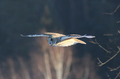 Flight of an owl. Strix nebulosa on midday hunting for mice stock images