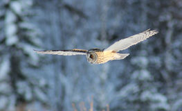 Flight of an owl. Strix nebulosa on midday hunting for mice stock photos