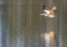 Flight of a Pelecanus philippensis - Spot billed pelican on a serene lake stock images