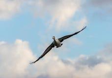 Flight of the pelican Stock Photos