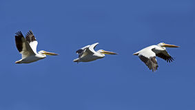 Flight Of A Pelican Collage Stock Image