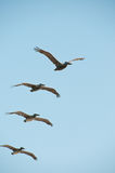 Flight of Pelicans Stock Images