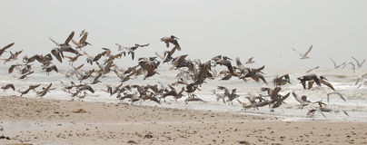 Flight of Pelicans. Pelicans at Crystal Beach, Galveston stock image