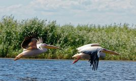Flight of pelicans. A pair of common pelicans flying on the Danube delta area in Romania stock photo
