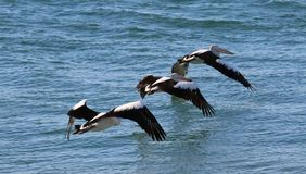 A flight of pelicans. Three pelicans take off in formation Royalty Free Stock Images