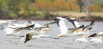 Flight of pelicans. Flight of white pelicans in Oklahoma royalty free stock images