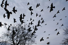 Flight of pigeons. Pigeons fly in the sky. Over autumn trees. The big flight of birds Stock Photos