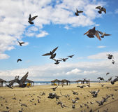 The flight pigeons was flied on sand Royalty Free Stock Image