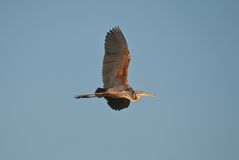 Flight of the red heron Royalty Free Stock Images