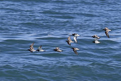 Flight of the Ruddy Turnstone Royalty Free Stock Images