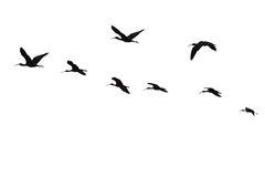 The flight of the sacred ibis. isolated. Stock Images