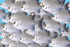 Flight  of sea fishes the bream Stock Image