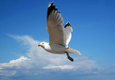 Flight of a sea-gull Stock Photography