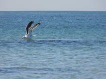 Flight of a seagull Rissa tridactyla stock image