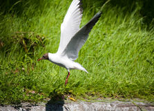 Flight of the seagull Royalty Free Stock Photos