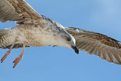 The flight of the seagull. Stock Image