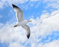 A spectacular flight of the seagull royalty free stock photography