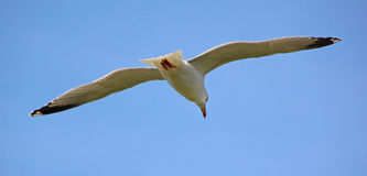 Flight of the seagull Royalty Free Stock Images