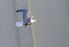 flight of a Seagull in the sky Stock Images