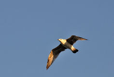 Flight of the seagull. In the sky lit by the sun Royalty Free Stock Images