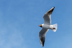 Flight of seagull in the summer day on background of blue sky. Wingspan of seagull in rapid flight on background of clear sky Royalty Free Stock Photography