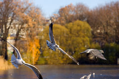 Flight of a seagulls Royalty Free Stock Photos