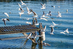 Flight of seagulls Royalty Free Stock Photography