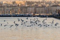 Flight of seagulls in Geneva Stock Image
