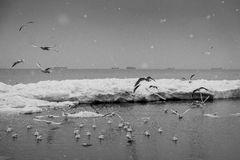 Flight of seagulls over the winter sea Royalty Free Stock Photo
