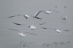 Flight of seagulls Stock Photo
