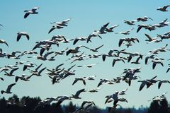 Flight of the Siberian Snow Geese. A close view of a flock of Siberian Snow Geese flying during the winter stay at Fir Island in Skagit County, Washington stock photo