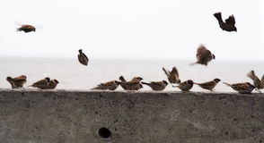 Flight of sparrows Stock Images