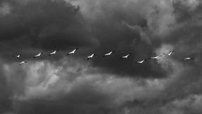 Flight. Striking black and white image of birds flying together stock photo