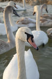 Flight of swans. The swan against flight of other swans, background is washed away, sharpness on beak, swan eyes Royalty Free Stock Photography