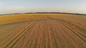 Flight and takeoff above wheat field, aerial view. stock video footage