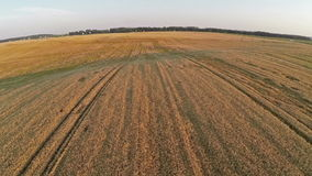 Flight and takeoff above wheat field, aerial view. stock video