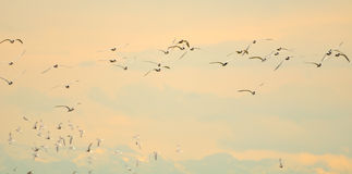 Flight of terns at dawn Royalty Free Stock Photos
