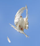 Flight of the white dove Stock Image