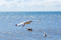 Flight of a white seagull over sea. Blue sky background Royalty Free Stock Photos
