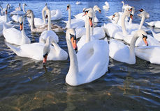 Flight of white swans. In water one swan in the centre Royalty Free Stock Image