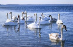 Flight of white swans on water Stock Photo