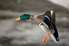 Flight of a wild duck Royalty Free Stock Image