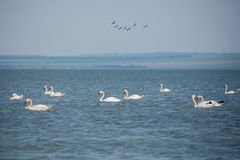 Flight of wild white swans royalty free stock photography