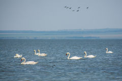 Flight of wild white swans stock photo
