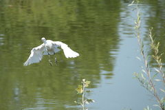 The flight of young cattle egret. A young cattle egret tries to fly Royalty Free Stock Images