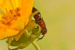 Flightless bee on a yellow flower Royalty Free Stock Image