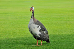 Flightless bird. Flightless funny bird walking on grass Royalty Free Stock Images