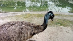 A flightless bird ostrich Royalty Free Stock Photo