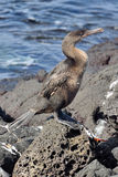 Flightless Cormorant. A flightless cormorant beside the sea Stock Images